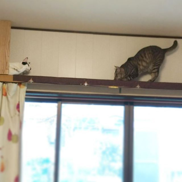 姫と王子の物語♥✨ #charlie_marley#catstagram#catlover#catoftheday#cats_of_instagram#lazycat#rescudecat#browntabby#bicolorskinkytail#cutecats#ペコねこ部#ピクネコ#みんねこ#zip写真部#もちぽよ部#ぐうたら猫#保護猫#キジトラ#白黒ねこ鍵しっぽ#今日のにゃんこ#愛猫#猫愛が止まらない#チャーリーとマーリー