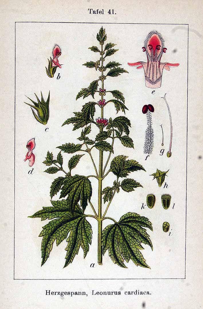 Yi Mu Cao - Leonurus cardiaca L. / Sturm, J., Krause, E.H.L., Lutz, K.G., Flora von Deutschland in Abbildungen nach der Natur, Zweite auflage, vol. 11: t. 41 (1903)