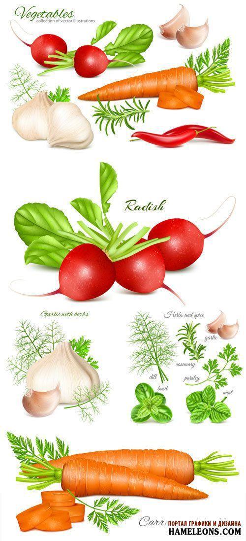 Zöldség - sárgarépa, fokhagyma, retek - Vector Graphics   Zöldségek, sárgarépa, fokhagyma, retek vektor