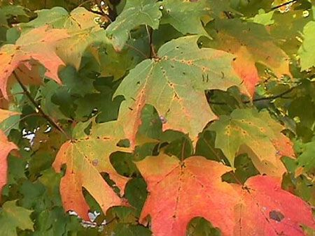 http://images.pictureshunt.com/pics/m/maple_tree_leafs-11906.jpg (14/11/2013)