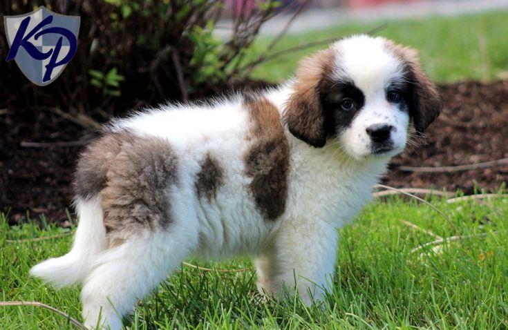 St Bernard Chow Mix Puppies St Bernard Dogs Rottweiler