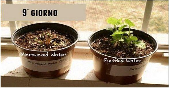 L'acqua scaldata al microonde uccide le piante