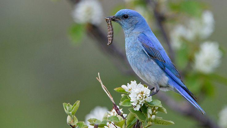 Bluebird eating a caterpillar