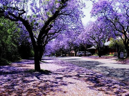 October is Jacaranda time in Queensland. I just love these trees.