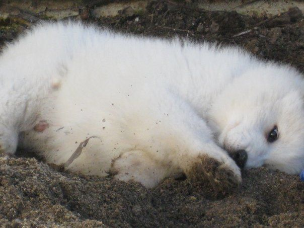 Atlas, Samoyed puppy: Loves dirt!  – Samoyed Puppies!