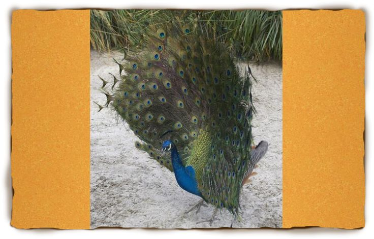 Peacock Facts For Kids: Peacock, Peacock Pictures | San Diego Zoo - Kids | San Diego Zoo - Kids