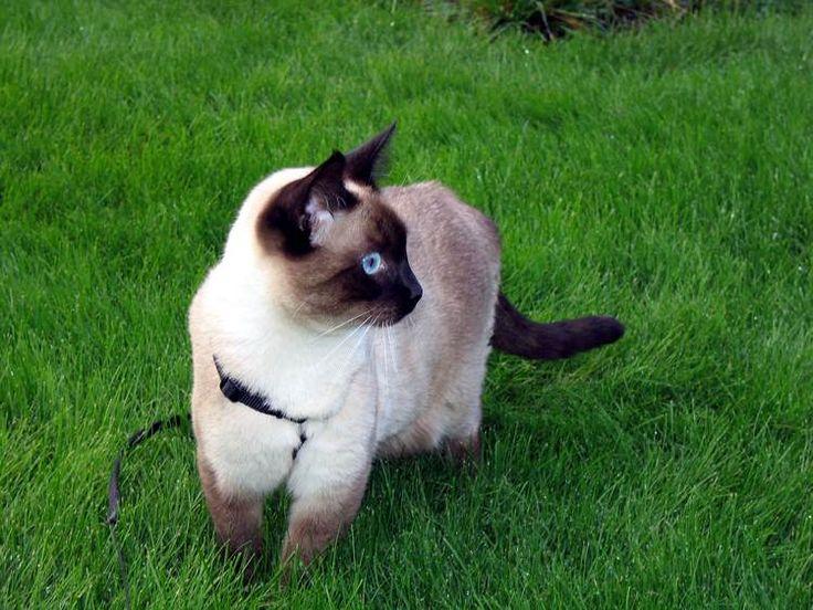 Cinque cose che non sapete sui gatti siamesi