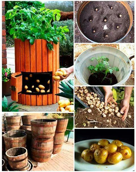 M s de 1000 ideas sobre plantar patatas en pinterest for Como cultivar patatas