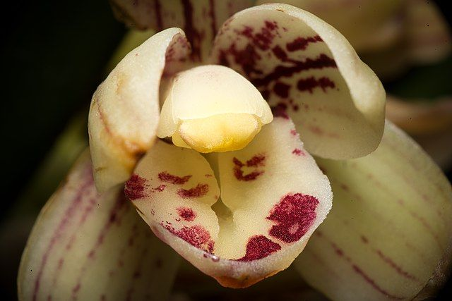 Cymbidium Orchids How To Grow Different Types Of Cymbidium