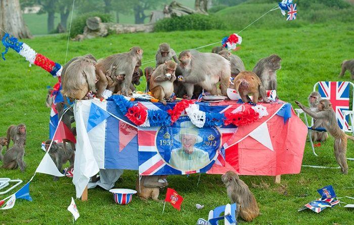Monkey jubilee tea party.