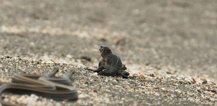 VIDÉO : Admirez l'énergie dépensée par ce petit iguane marin pour survivre à des dizaines de serpents affamés et obstinés !
