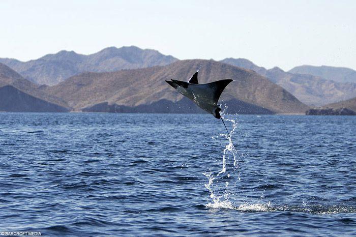 Pesce volante nel golfo del Messico