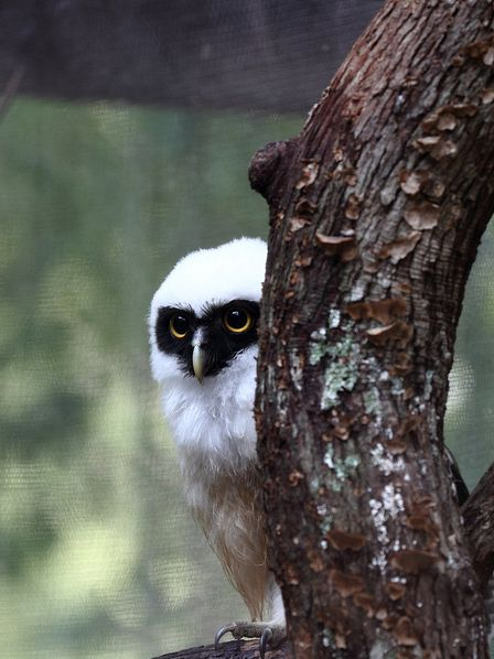 Spectacled Owl: Owl Birdsofprey, Birdsofprey Birdofprey, Animals Owls, Birdof Prey, Spectacled Owlet, Birds Bugs Critters, Photo, Birdsof Prey