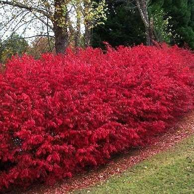 25 Best Ideas About Burning Bush On Pinterest Dwarf