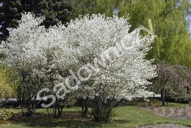 #Świdośliwa lepsza niż borówka amerykańska HIT #krzew #ogród Sklep Internetowy Wysyłka gratis od 99zł http://www.sadowniczy.pl/product-pol-86539-Swidosliwa-lepsza-niz-borowka-amerykanska-HIT.html?utm_source=pucek&utm_medium=pin