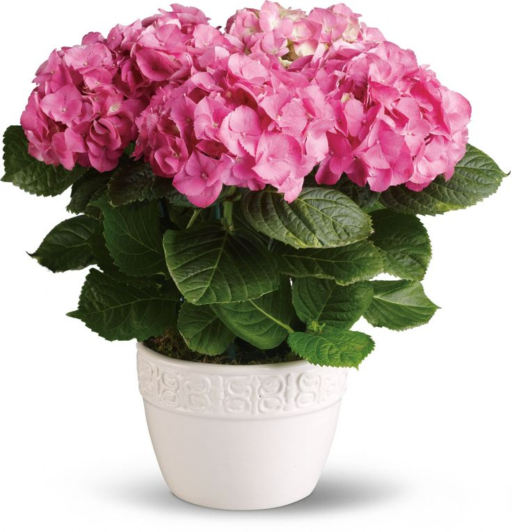 Happy Hydrangea - Pink Save 25% on this bouquet and many others with coupon code TFMDAYOK1B2 Offer expires 05/14/2012.