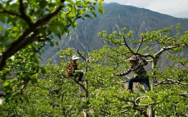 Una storia di ordinaria follia: i contadini impollinatori di Sichuan #api #sichuan #impollinazione #contadini