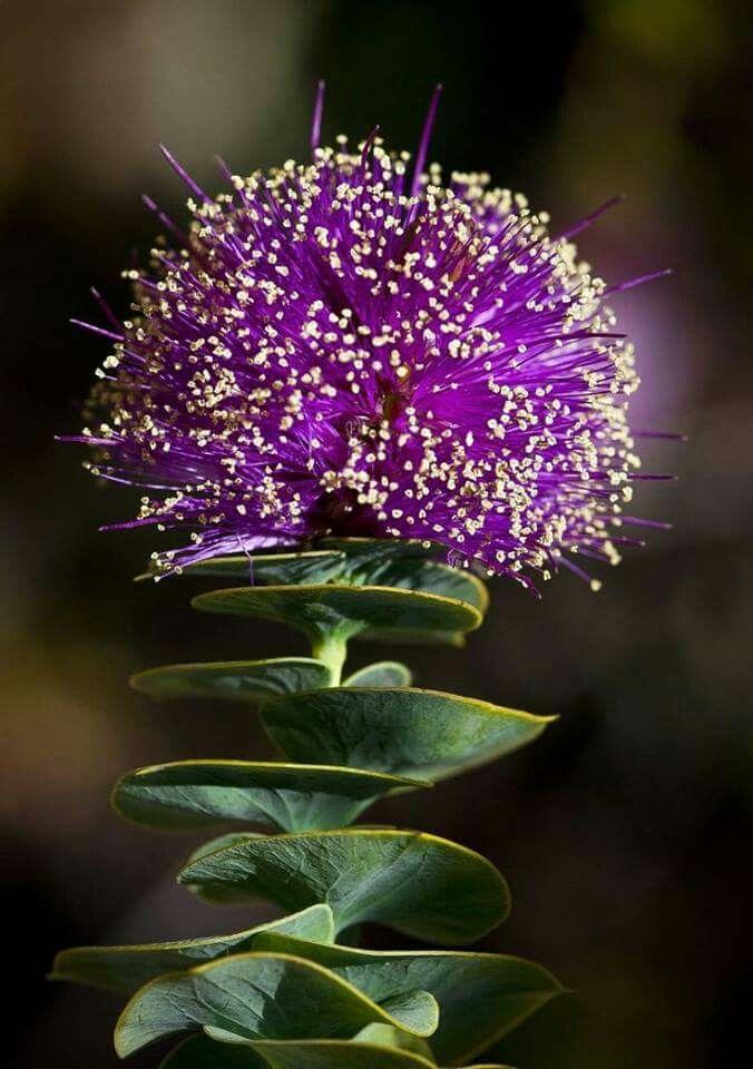 Eremaea ViolaceaEremaea es un género de 16 especies de arbustos o árboles, el follaje con olor persistente, perteneciente a la familia Myrtaceae. Es originario del oeste de Australia.