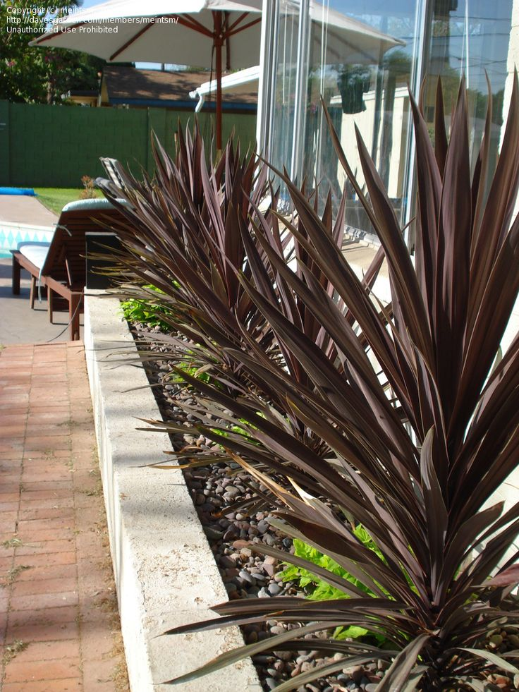 Photo Of Cabbage Palm Cordyline Red Sensation