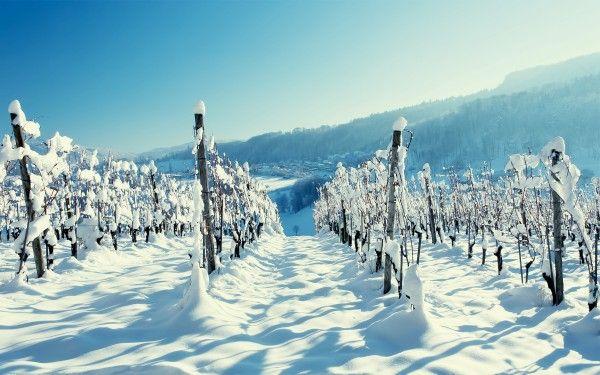Snow on Vineyard Wallpaper