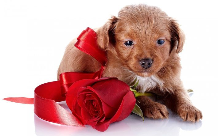 Download wallpapers small brown puppy, gift, red silk bow, red rose