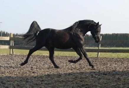 Mooie zwarte Arabische Volbloed!! image 1