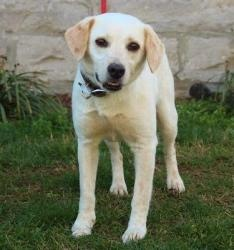 Ruby is an adoptable Yellow Labrador Retriever Dog in Enfield, CT. Here at Big Fluffy Dog Rescue, if you weigh 30 lbs, we consider you small. Ruby is a sweet little yellow lab/beagle mix who is cute, ...