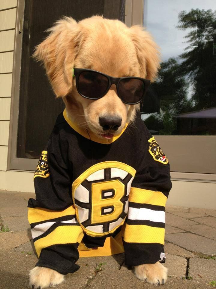 Go Bruins!! Ray Lewis, Golden Retriever a beautiful blind sweetheart!