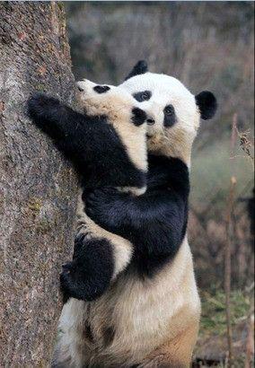 you can do it! ~    <3     ~ #pandas #pandalovers #animals