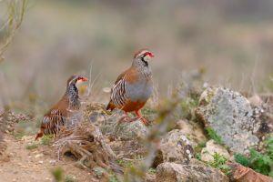 Aves de caza. Foto de una pareja de perdices rojas en los campos de Lerida. Alectoris rufa.