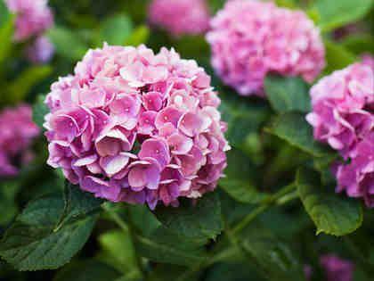 Kasviopas: hortensiat