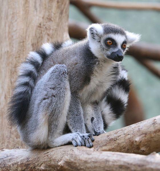 File:Katta Lemur catta Tierpark Hellabrunn-1.jpg