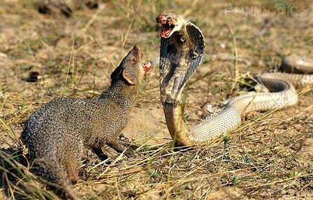 king Cobra Vs Mongoose Fight