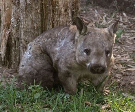 Though it looks similar to the standard wombat, the hairy nosed wombat possesses some unique features. Among the rarest mammals in the world, it has a backwards-opening pouch and is the largest burrowing herbivorous mammal known to humans. The other oddity of the hairy nosed wombat is that its teeth continue to grow throughout its life – now that's long in the tooth!