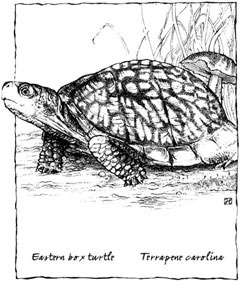 1000 ideas about tortoise enclosure on pinterest tortoise table - 1000 Images About Box Turtle At Long Pond On Pinterest