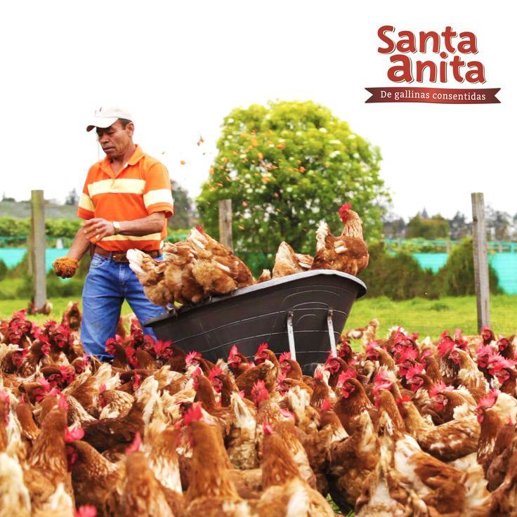 En Huevos Santa Anita consentimos a nuestras gallinas  con alimentos sanos y nutritivos que no contienen hormonas, ni se aplican productos químicos que dañen el medio ambiente, el suelo, el aire, el subsuelo y los mantos freaticos. Disfruta de tus Huevos Santa Anita de Gallinas Consentidas porque son 100% naturales.