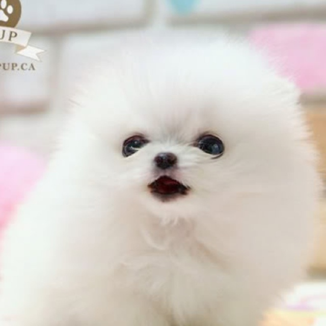 8 White Kitchens That Will Make You Say Wow: Cute Little Puffy Puppy!!