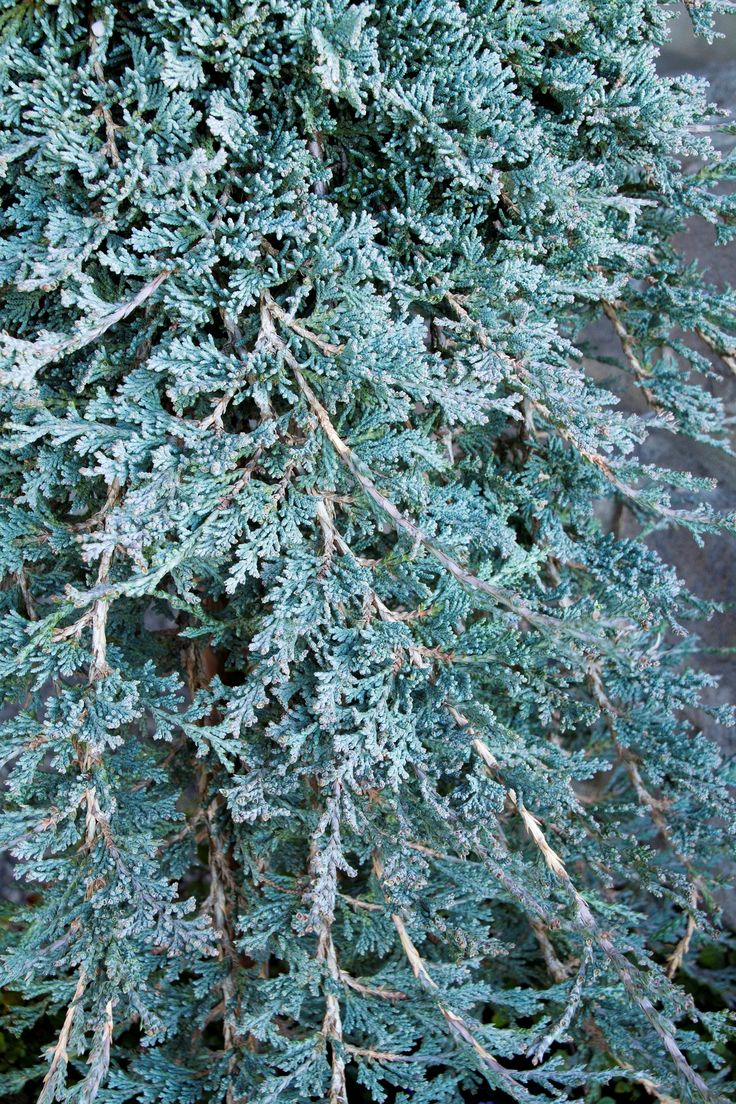 1000 Images About Plants For Winter On Pinterest Hedges