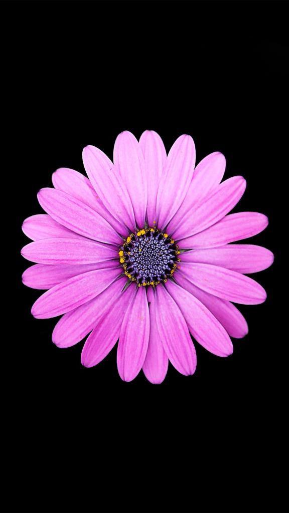 Iphone X 4k Wallpapers Margarita Purple Daisy Flower 4k 14402560