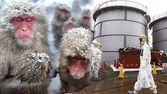 Viele Jahre nach der Nuklearkatastrophe in Fukushima ist das Ausmaß noch immer spürbar. Die radioaktive Kontamination von Luft und Boden durch den Reaktorunfall hat bis heute schwerwiegende Folgen …