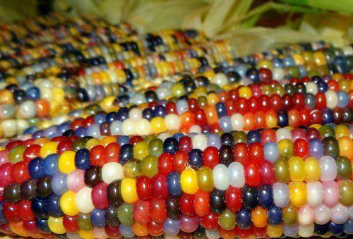 """Questa varietà di granturco si chiama gemma di vetro (""""glass gem corn"""") e i chicchi sembrano più Smarties che mais – o cocci di vetro colorato, volendo rimanere fedeli al nome."""