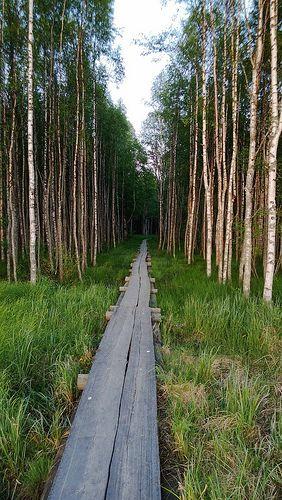 Pitkospuut. Photo by Timitra Hostel in Lieksa. - Sight wolverines in July. Finland.