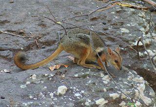 Short-eared rock-wallaby (Petrogale brachyotis) é uma espécie de marsupial da família Macropodidae. Endêmica da Austrália, onde é encontrada na Austrália Ocidental e Território do Norte.