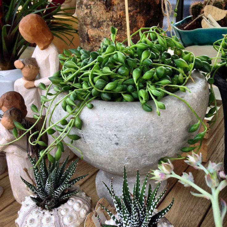 Senecio rowleyanus, succulent, succulents
