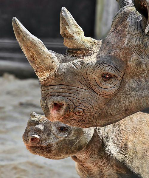 Rare, endangered, beautiful rhinos
