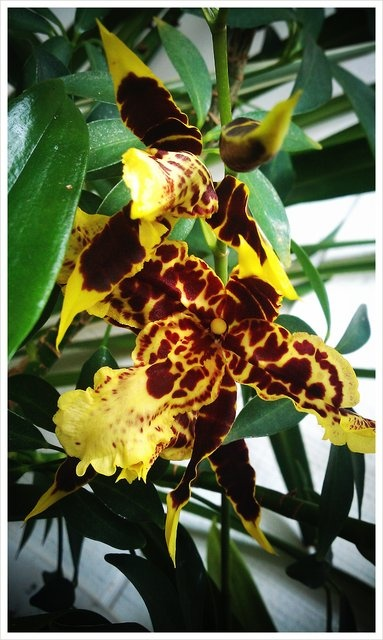 This is one of my orchids, just beginning to bloom.