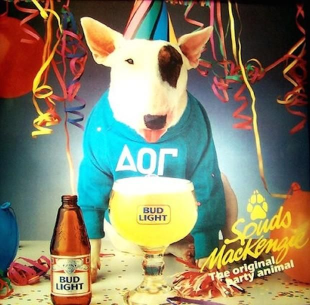 """TV star for the beer brand """"Budlight"""", Spuds Mackenzie was a Bull Terrier, a breed considered potentially dangerous. He was so relaxed and cool though!"""