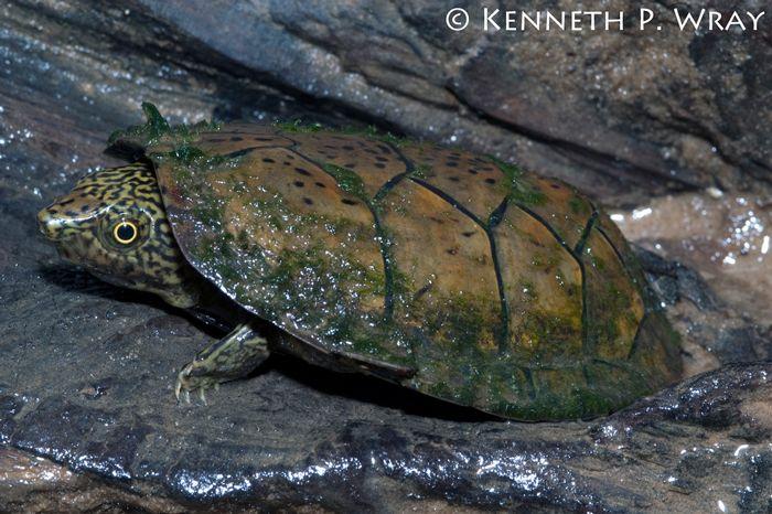 Flatened Musk Turtle