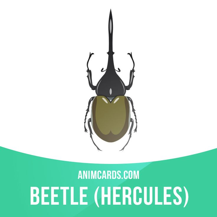 Hercules beetle is one of the largest beetles in the world. They can be found in Central and South America. Body of Hercules beetle is covered with strong shell, which acts as outer skeleton. Learning English can be fun! Visit our website: learzing.com #english #englishlanguage #learnenglish #studyenglish #language #vocabulary #dictionary #englishlearning #funenglish #vocab #animals #herculesbeetle #beetle #hercules #insect #insects