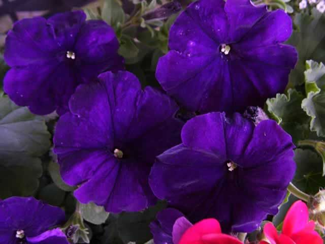 17 Best ideas about Petunia Plant on Pinterest | Indoor ...